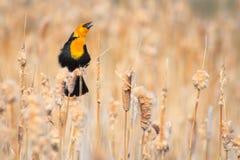 дисплей кукушкы возглавил желтый цвет Стоковое Фото