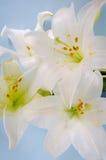 Дисплей лилии Стоковое фото RF