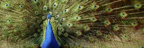 Дисплей павлина Стоковая Фотография RF