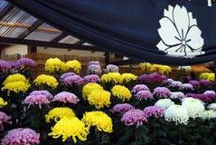 Дисплей хризантемы Стоковые Фото