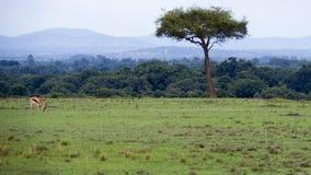 Дистантный взгляд одного газеля Томпсона пася в зеленой траве в красивом ландшафте с одним деревом Стоковое Фото
