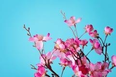 дифференциал вишни цветения цветет макрос фокуса светлый естественный Стоковое Фото