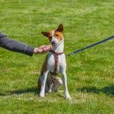 Дилемма собаки решая - мастер или еда стоковые изображения rf