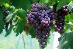 Длинная строка фиолетовых виноградин стоковое фото rf
