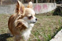 Длинная с волосами собака чихуахуа на открытом воздухе Милый золотой чихуахуа от Мексики стоковое изображение rf