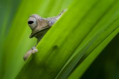 Длинная ушастая лягушка Борнео стоковая фотография