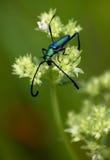 длиннее жука horned Стоковое Изображение RF