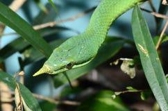 длинний вьетнамец носа snake2 Стоковое фото RF