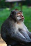 длинний замкнутый вытаращиться macaque Стоковое Изображение