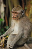 длинний замкнутый macaque стоковые фотографии rf