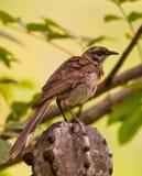 длинний замкнутый mockingbird Стоковое Изображение RF