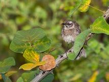 длинний замкнутый mockingbird Стоковое фото RF