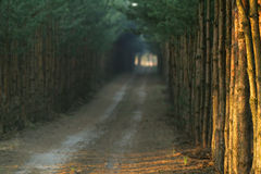 длинний путь сосенок стоковое фото
