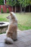 Длинное пальто Shiba Inu сидя на крылечке в ветре Стоковые Фото