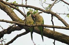 2 длиннохвостого попугая в влюбленности Стоковое Изображение RF