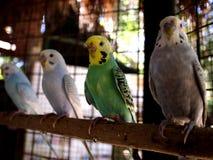 Длиннохвостые попугаи садить на насест на ветви дерева Стоковое Изображение RF