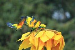 Длиннохвостые попугаи Солнця Стоковая Фотография RF