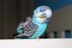 Длиннохвостый попугай бирюзы домашний стоковое фото