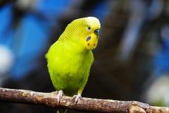 Длиннохвостый попугай Budgie желтого зеленого цвета стоковые фотографии rf