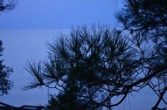 Длинные иглы кедра против голубого неба 100f 2 8 28 velvia лета nikon s fujichrome пленки f вечера камеры 301 ai Стоковые Фото