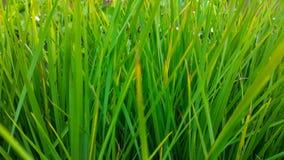 Длинные и худенькие зеленые листья трав стоковое фото