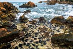 Длинные морские ежи позвоночников на утесе в морской воде отделывают поверхность Стоковые Изображения RF