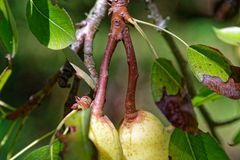 Длинные стержни расти груш осмотрели сверху груши стоковые изображения
