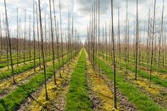 Длинные строки молодых деревьев в большом питомнике дерева Стоковая Фотография