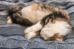 Длинный кот tabby волос отдыхая на голубой крышке постельных принадлежностей Стоковые Изображения