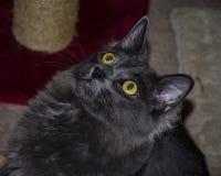 Длинный с волосами серый кот смотря вверх внутрь стоковая фотография