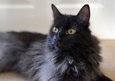 ДЛИННЫЙ С ВОЛОСАМИ ЧЕРНЫЙ CAT Стоковые Изображения