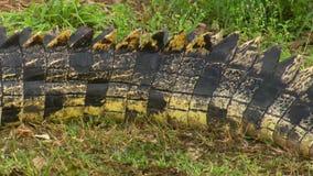 Длинный хвост крокодила сток-видео