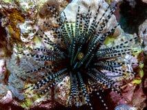 Длинный-spined мальчишка моря Стоковое фото RF