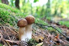2 длинных белых гриба Стоковые Фото