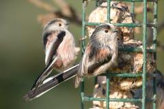2 длинных замкнутых синицы садясь на насест на фидере птицы Стоковые Изображения