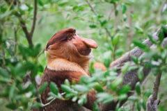 длинняя обезьяна обнюхала хоботок Стоковые Фотографии RF