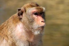 длинняя обезьяна macaque замкнула Стоковое Фото
