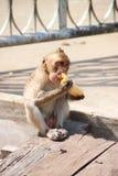 длинняя обезьяна macaque замкнула Стоковая Фотография