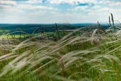 Длинняя сухая трава Стоковая Фотография