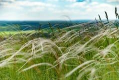 Длинняя сухая трава Стоковые Фотографии RF
