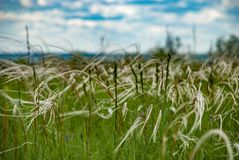 Длинняя сухая трава Стоковые Фото