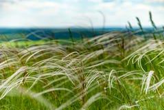 Длинняя сухая трава Стоковое Изображение RF