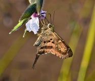 Длинн-замкнутая бабочка шкипера подавая от цветка Стоковые Фотографии RF