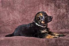 Длинн-с волосами портрет студии щенка немецкой овчарки стоковое изображение