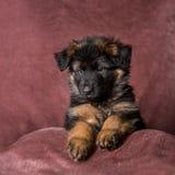 Длинн-с волосами портрет студии щенка немецкой овчарки стоковое фото