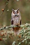 Длинн-ушастый сыч сидя на ветви в упаденном лесе лиственницы во время осени Сыч в среду обитания природы природы деревянной Птица Стоковое фото RF