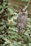 Длинн-ушастый сыч сидя на ветви в упаденном лесе лиственницы во время осени Сыч в среду обитания природы природы деревянной Птица Стоковые Фото