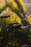 Длинн-necked черепахи в танке пресноводной рыбы стоковое изображение rf