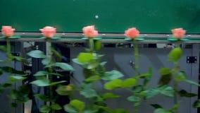 Длиной запруженные розовые розы двигая дальше грейдер в 2 направлениях видеоматериал