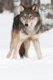 Дно космоса экземпляра серого волка (волчанки волка) Стоковые Изображения RF